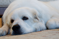 rescue a Great Pyrenees