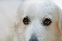 Great Pyrenees History & Origins